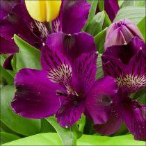 Alstroemeria-burgundy.jpg